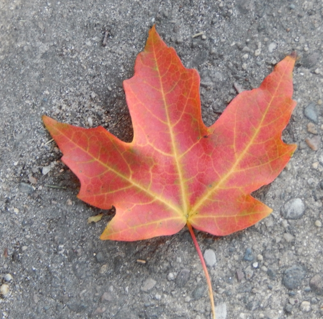 Autumn colorful maple leaf