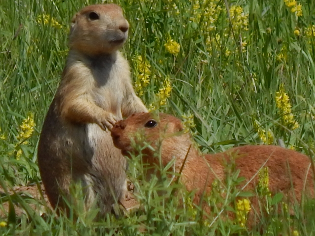Prarie Dogs in Custer State Park on the Wildlife Loop (640x480)