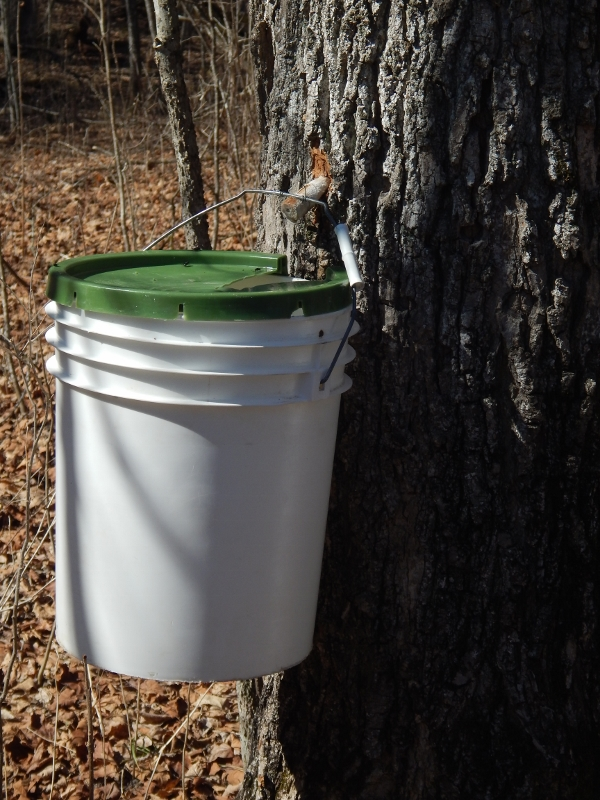 Collecting Sugar Maple Sap Haiku